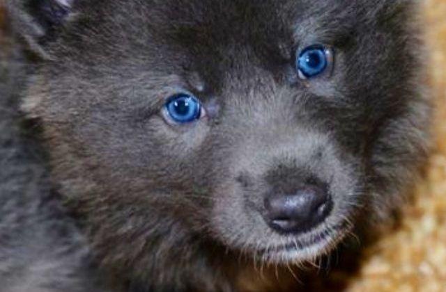 pastor alemán azul 4