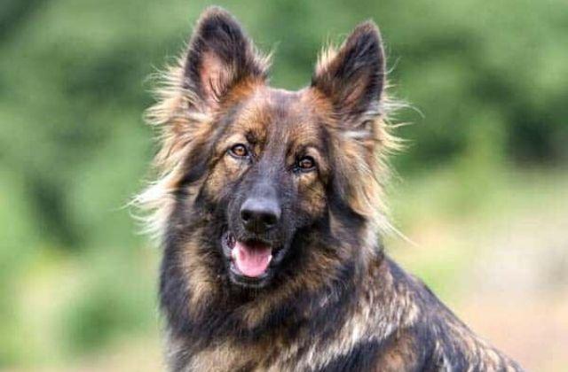 pastor alemán sable 5