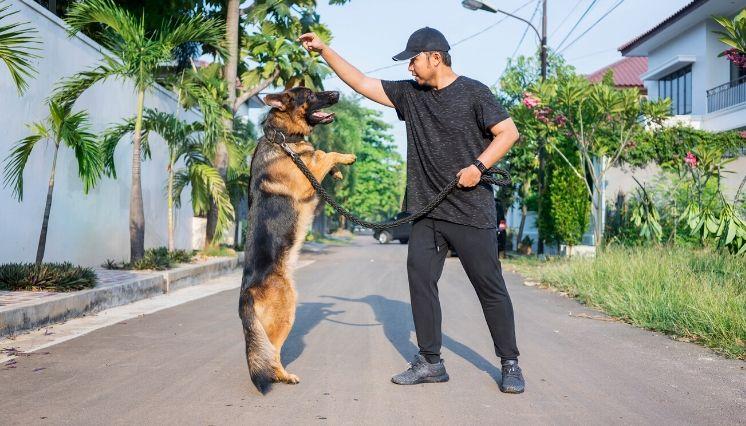 conoce sobre el perro pastor alemán 2