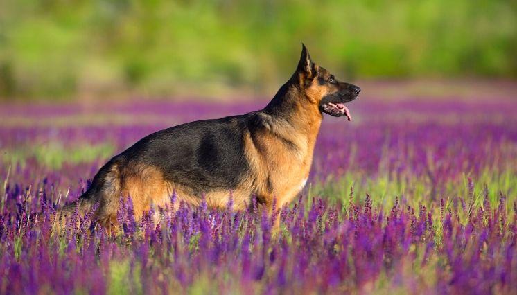 conoce sobre el perro pastor alemán 3