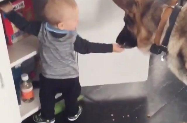 El Dúo Perfecto El Bebé Roba La Comida Para Dársela Al Pastor Alemán 5