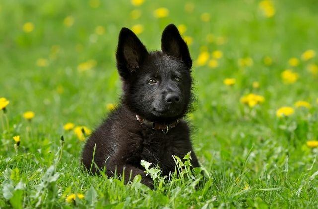 13 Cachorro Pastor Alemán Negro