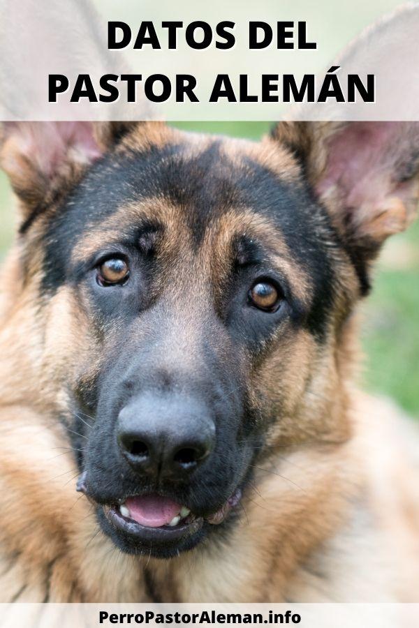 14 Fotos de el perro Pastor Alemán