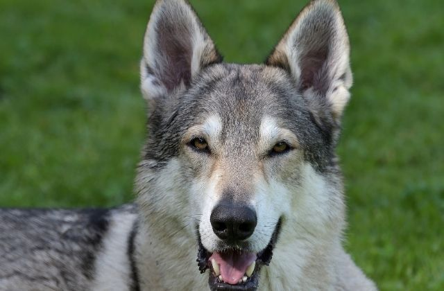 17 El Perro Lobo Checoslovaco