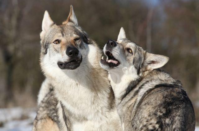 18 El Perro Lobo Checoslovaco