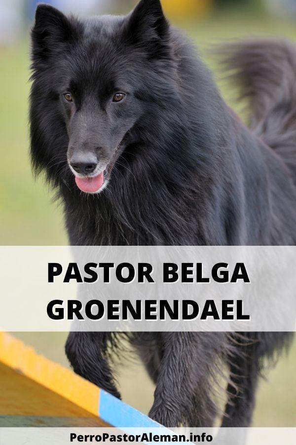 18 Perro Pastor Belga Groenendael