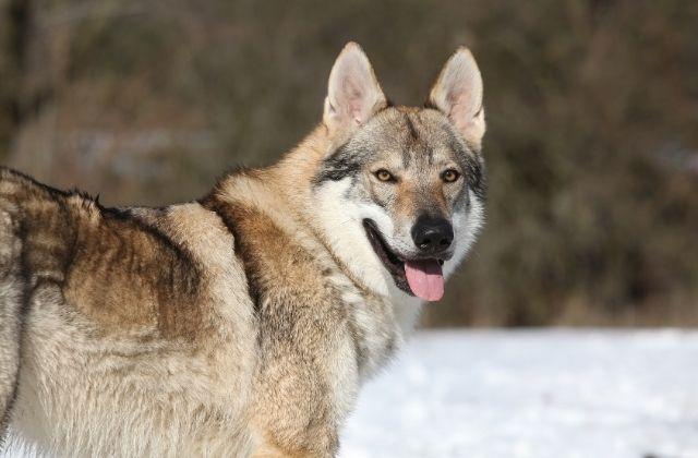 19 El Perro Lobo Checoslovaco
