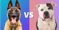 21 Pastor Belga Malinois VS Pitbull
