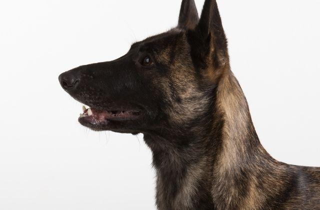 35 El Perro Pastor Holandés