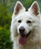 4 Perro Pastor Alemán Blanco Suizo