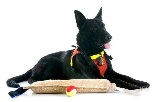 4 Perro Pastor Alemán Negro 2