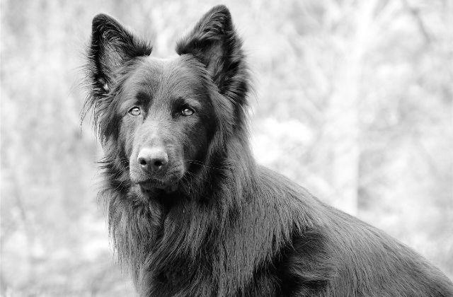 5 Perro Pastor Alemán Negro