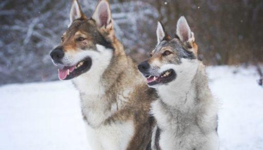 7 El Perro Lobo Checoslovaco