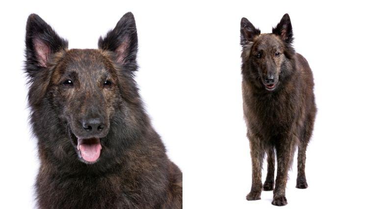 El Perro Pastor Holandés