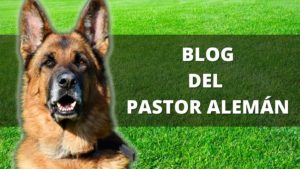 Blog Del Pastor Alemán