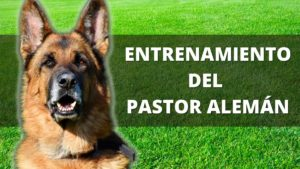 Entrenamiento Del Pastor Alemán