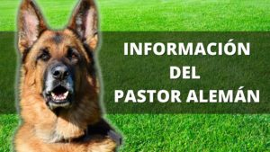 Información Del Pastor Alemán